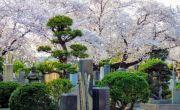 Những trải nghiệm ngắm hoa anh đào dị nhất ở Tokyo
