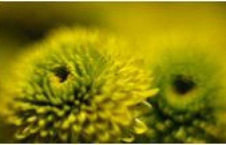 Câu chuyện hoa cúc và cây đa